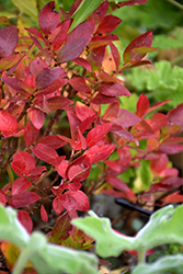Jelly Bean® Blueberry (Vaccinium 'ZF06-179') at Holcomb Garden Center